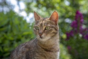 Cystite chronique chez le chat Vétérinaire Homéopathe Alpes Maritimes 06